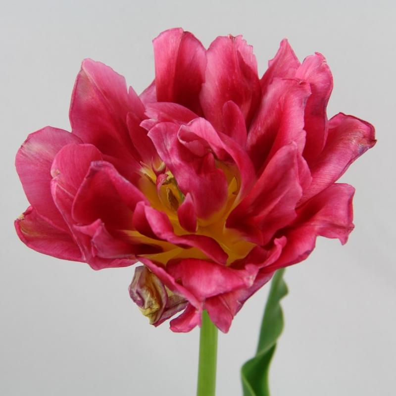 Tulipa 'Rembrandt'