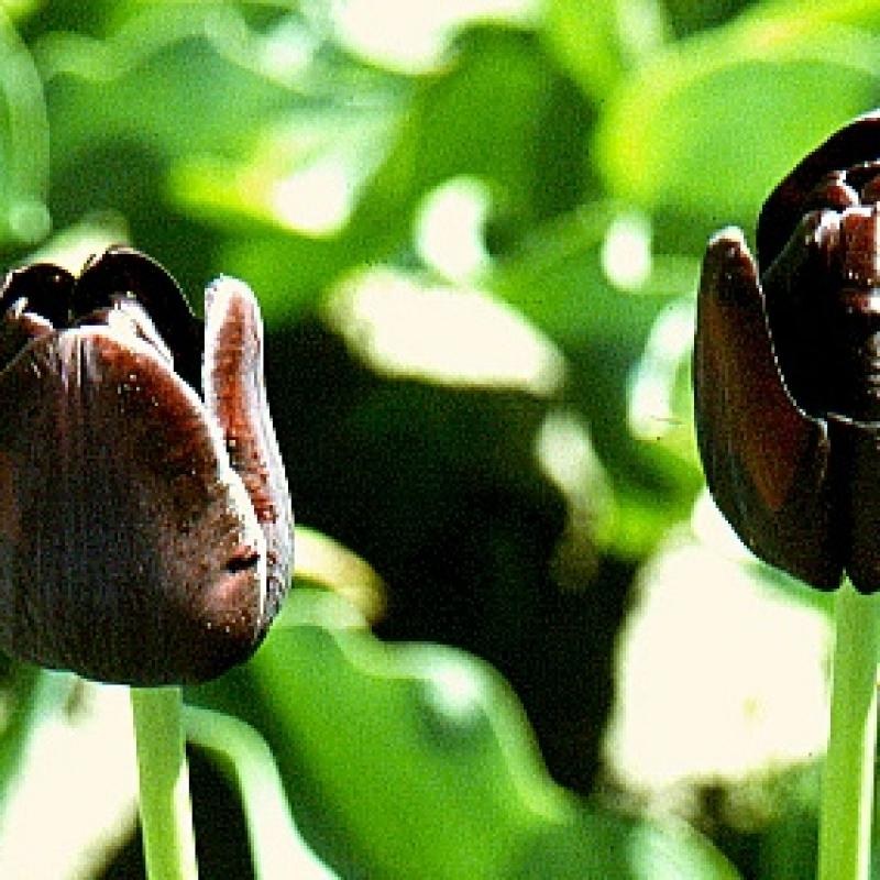Tulipa 'Black Horse'