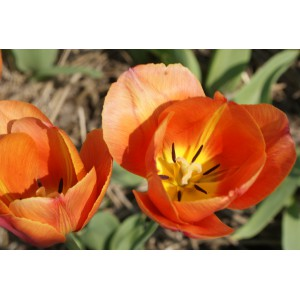 Tulipa 'Dillenburg'
