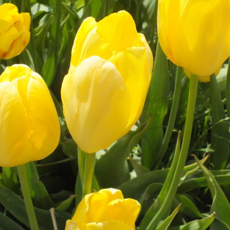 Tulipa 'John T. Scheepers'