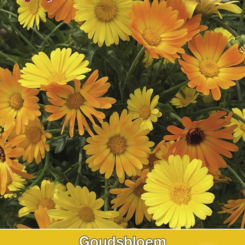 Calendula officinalis Simplicity (Goudsbloem)