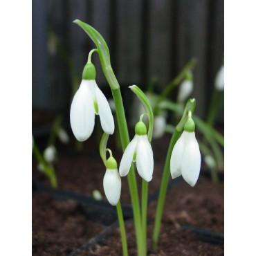 Galanthus reginae-olgae