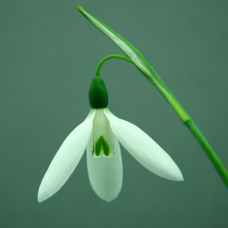 Galanthus 'Donald Sims Early'