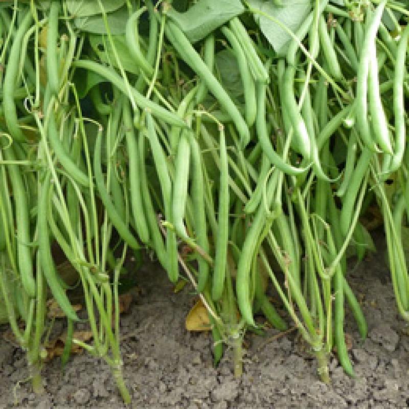 Stamslaboon Phaseolus vulgaris 'Domino'