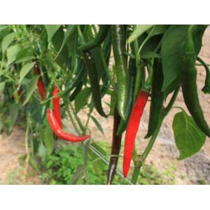 Peper Capsicum annuum 'Westlandse Lange Rode'