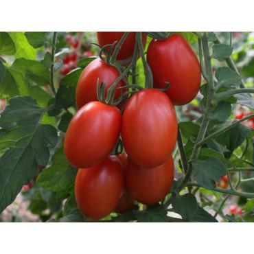 Tomaat Solanum lycopersicum 'Bolstar Sensatica F1'