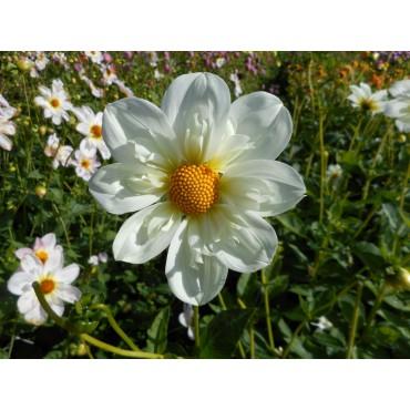 Dahlia 'Twyning's White Chocolate'