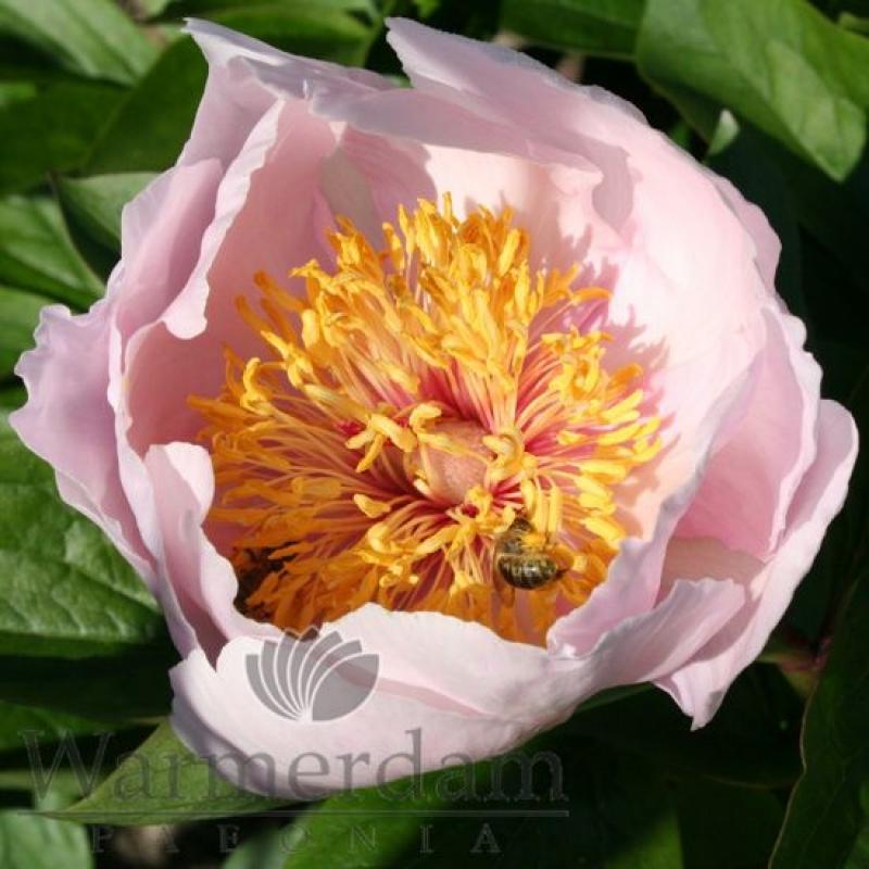 Paeonia 'Lavender Whisper'