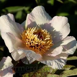 Paeonia 'Mai Fleuri'