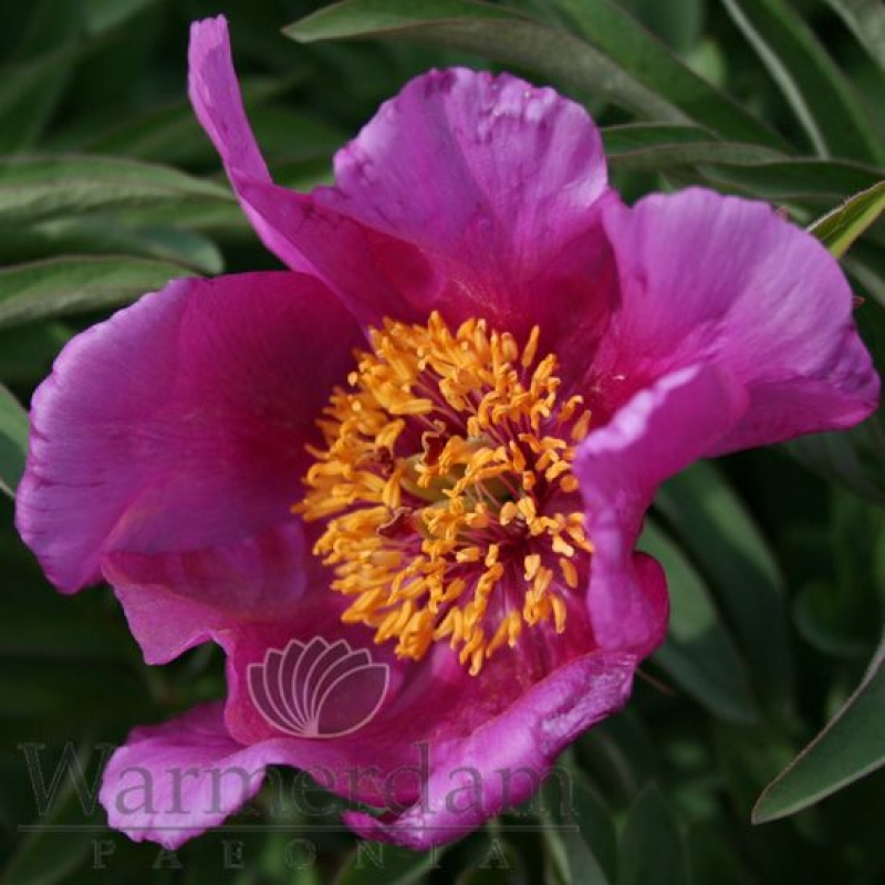 Paeonia 'Lavender Baby'