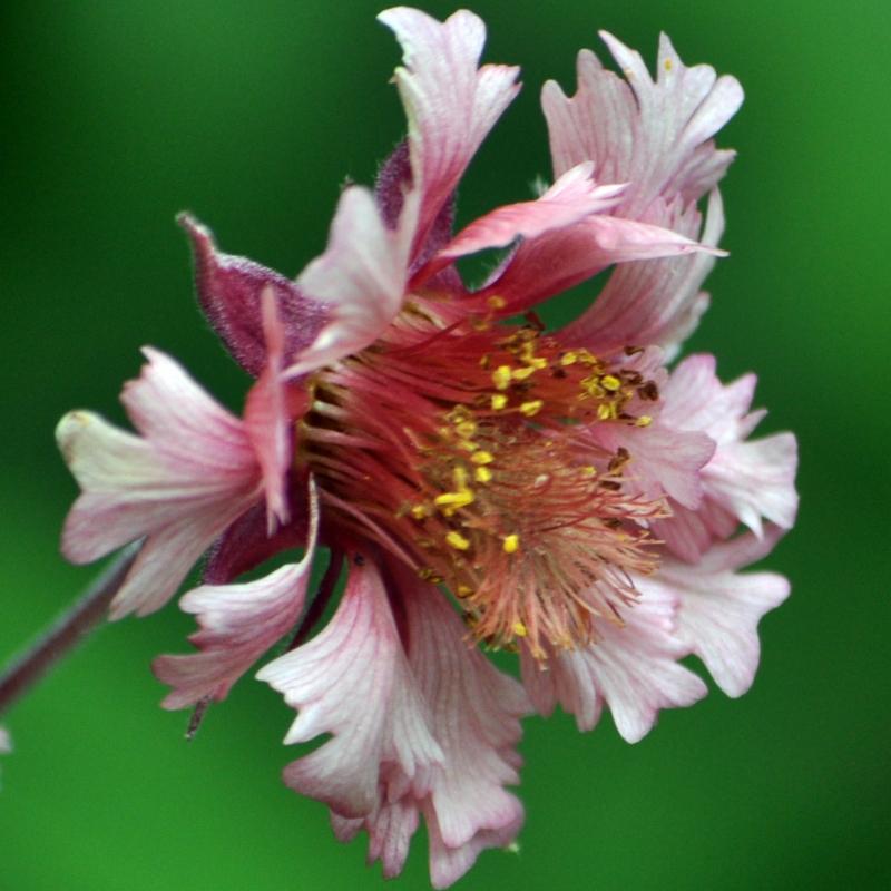 Geum 'Pink Fluffy'