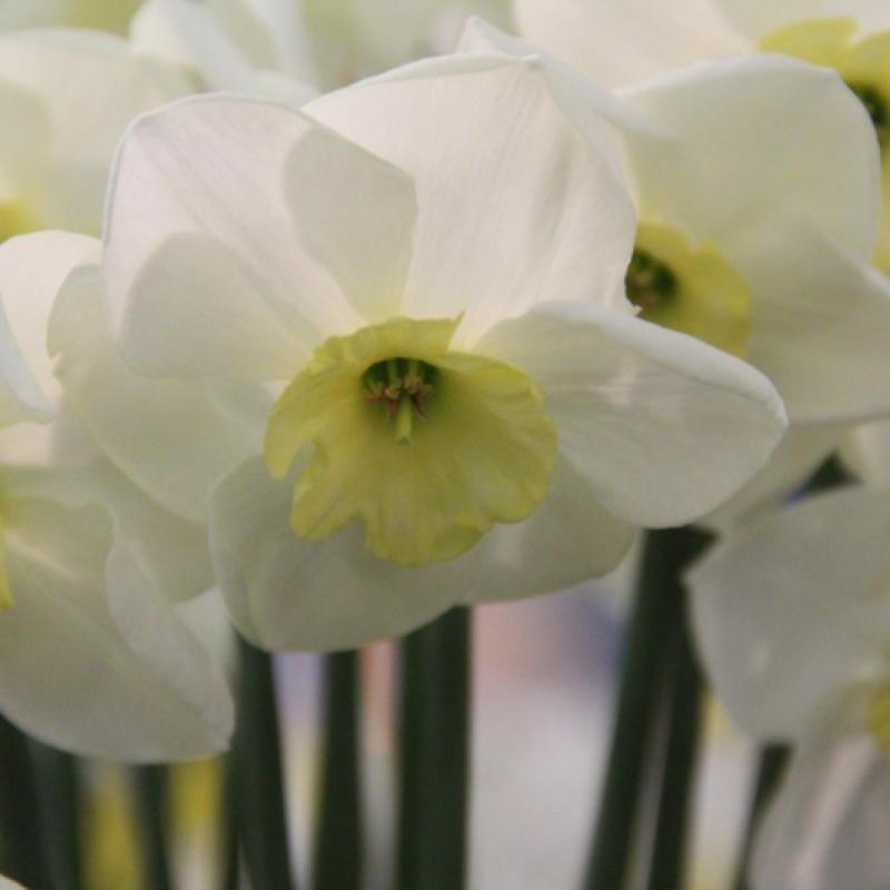 Narcissus 'White Tie'