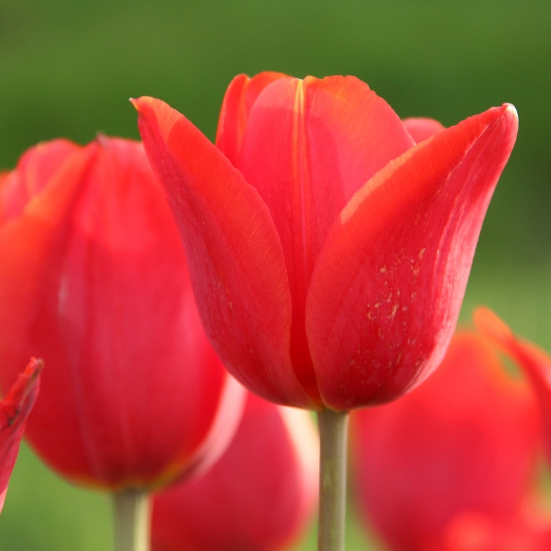 Tulipa 'Admiraal Tromp'