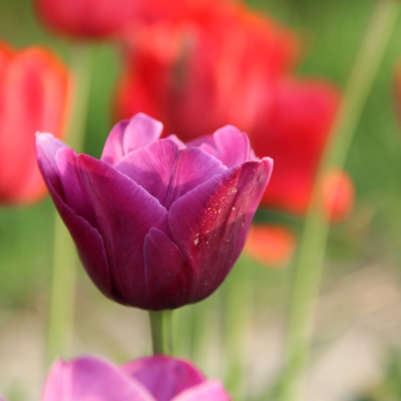 Tulipa 'Aesculapius'