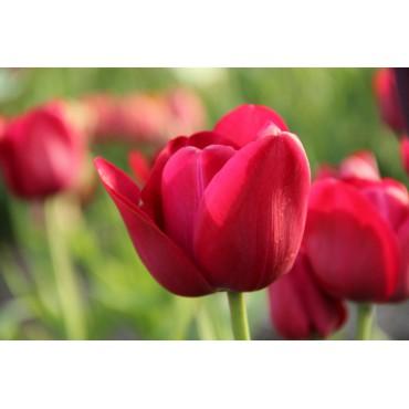 Tulipa 'Archeron'