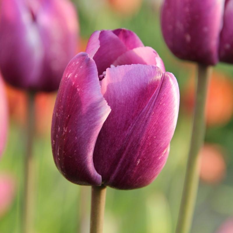Tulipa 'Corrina'