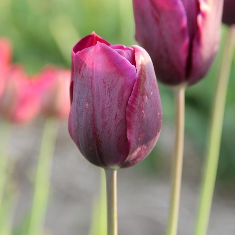 Tulipa 'Bacchus' foliage variegated