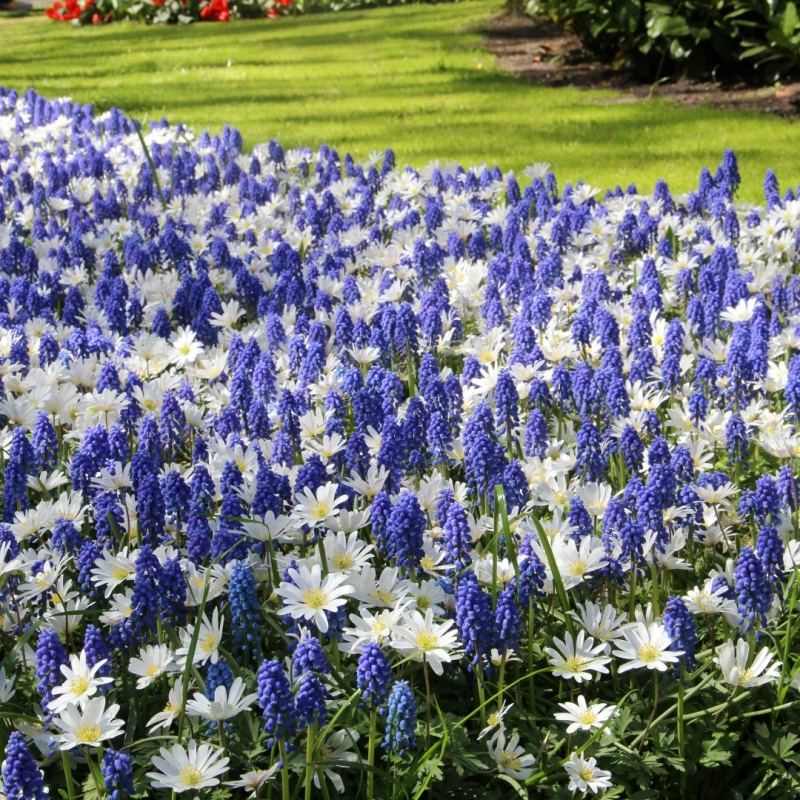 Anemone blanda 'White Splendour' met Muscari aucheri 'Blue Magic'