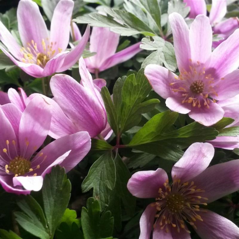 Anemone nemorosa 'Marie Rose'