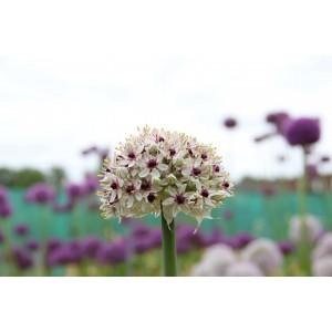 Allium basalticum 'Silver Spring'