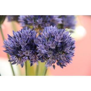 Allium caesium 'Summer Sky'