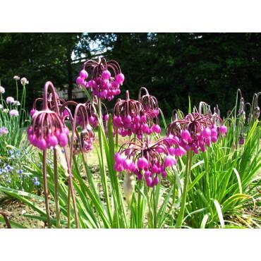 Allium cernuum 'Purple King'