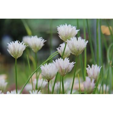 Allium schoenoprasum 'Corsican White'