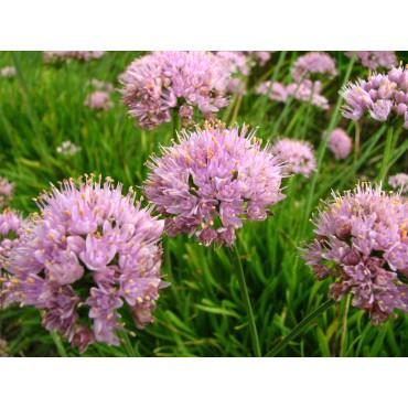 Allium senescens var. glaucum