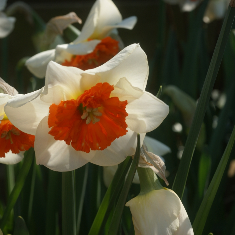 Narcissus 'Bella Vista'