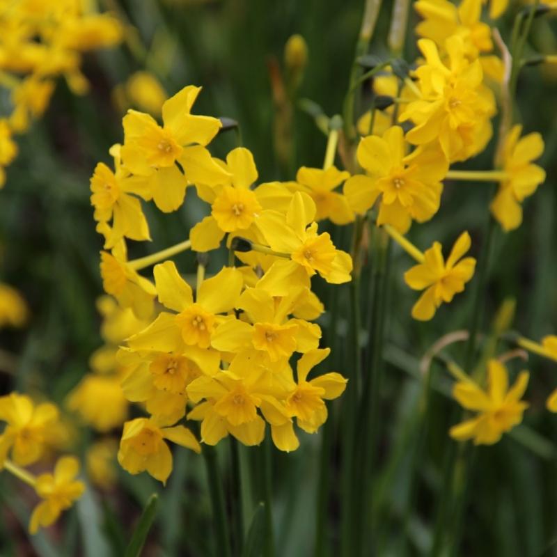 Narcissus cordubensis