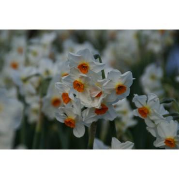 Narcissus 'Cragford'