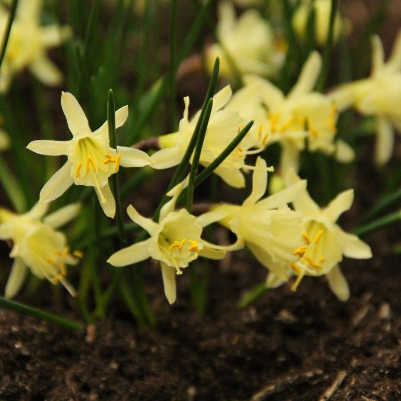 Narcissus hedraeanthus