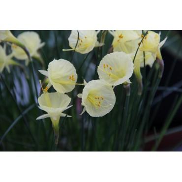Narcissus 'Julia Jane'