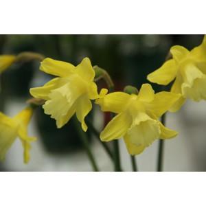Narcissus 'Little Spell'