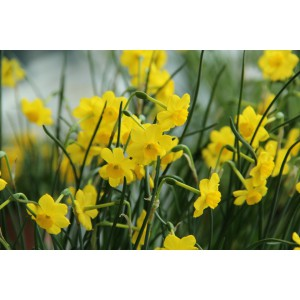 Narcissus 'More and More'