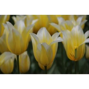 Tulipa 'Budlight'