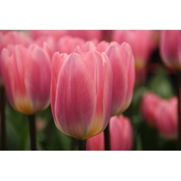 Tulipa 'Light and Dreamy'