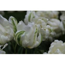 Tulipa 'Madonna'