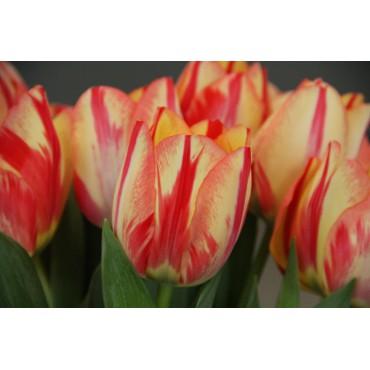 Tulipa 'Spryng Break'