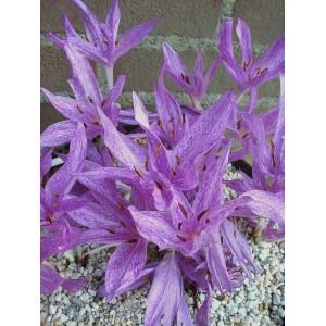 Colchicum x aggripinum