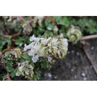 Corydalis solida 'Snowy Owl'