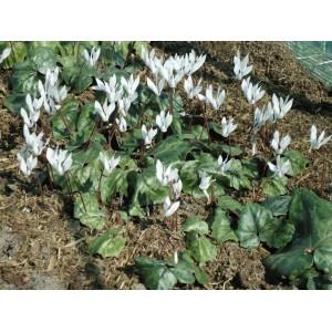 Cyclamen repandum subsp. peloponnesiacum 'Album'