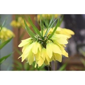 Fritillaria 'Helena'