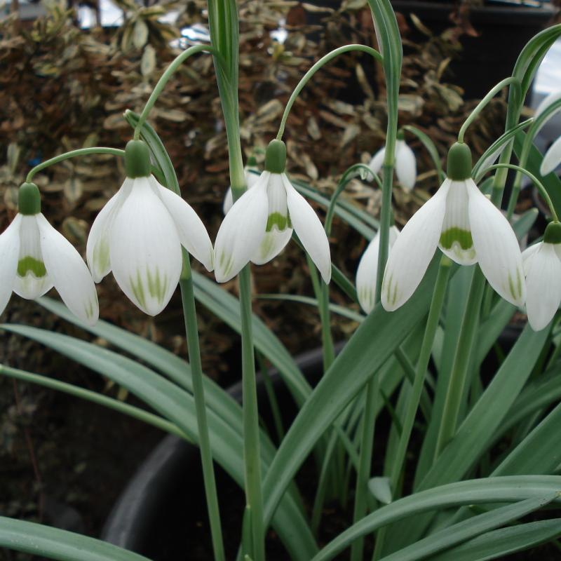 Galanthus nivalis 'Marijke'