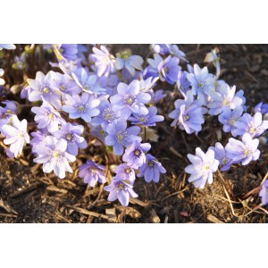 Hepatica transsylvanica 'Blue Eyes'