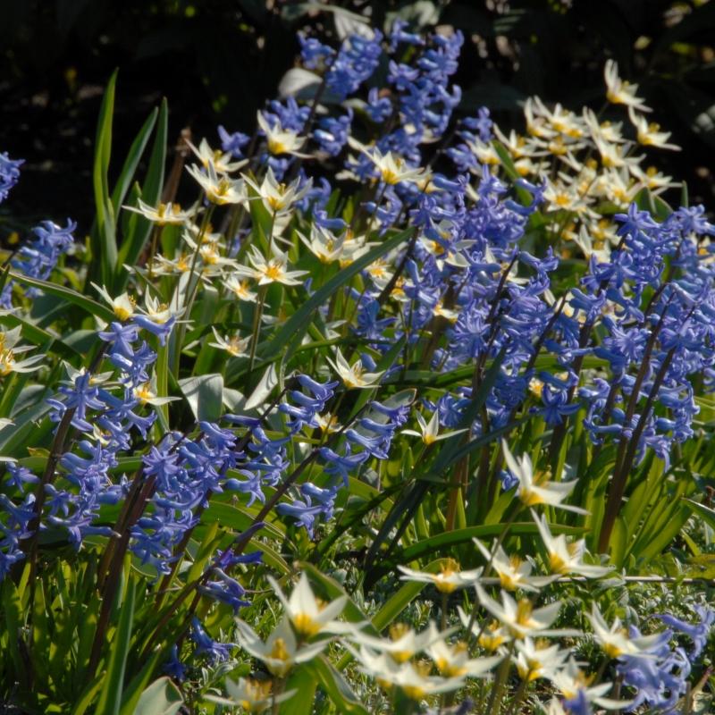 Hyacinthus orientalis 'Blue Festival' met Tulipa turkestanica