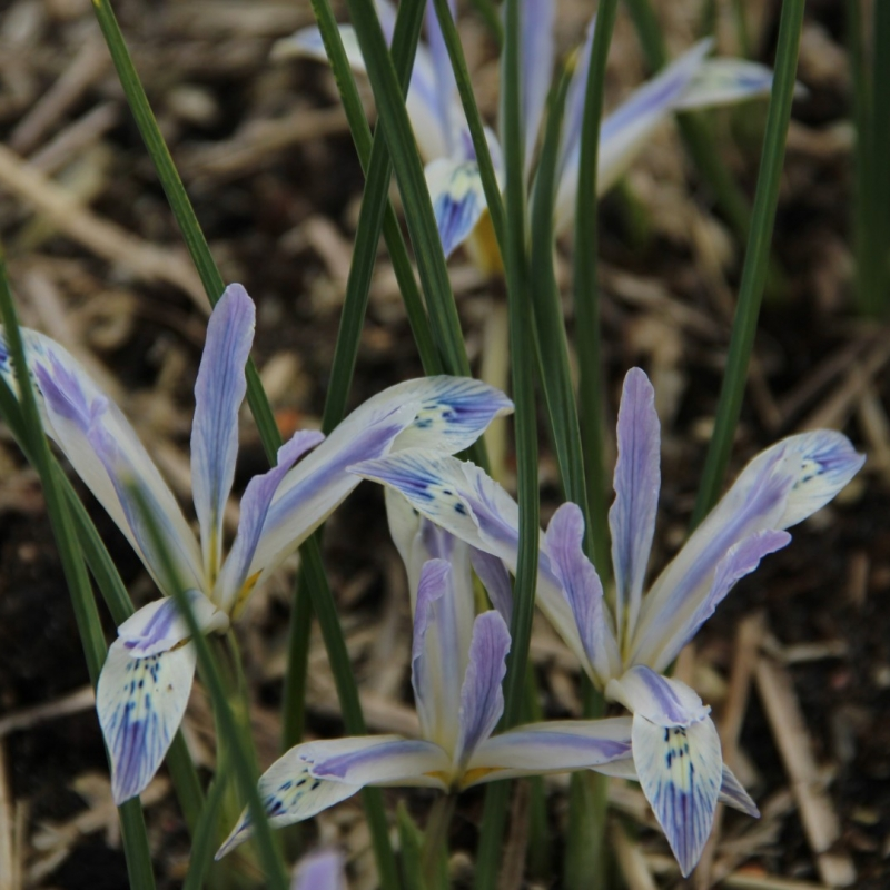 Iris reticulata 'Painted Lady'
