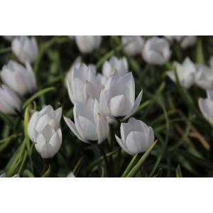 Tulipa humilis var. pulchella 'Rosea Caerulea Oculata'