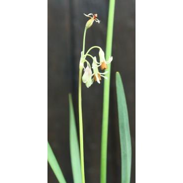 Tulbaghia leucantha -klein-