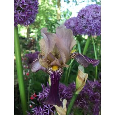 Iris sambucina